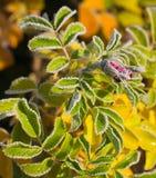 Mroźnego pączka różani biodra Obrazy Stock