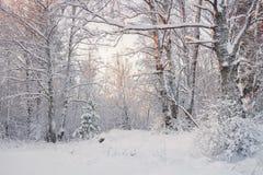 Mroźny krajobraz W Śnieżnym ForestWinter lasu krajobrazie Piękny zima ranek W śnieżystej brzozie Lasowy śnieg Zakrywający Tr fotografia stock