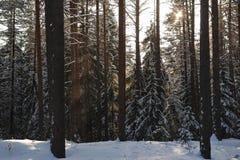 Mroźny las w światłach wieczór słońce Zdjęcie Stock