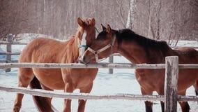 Mroźny słoneczny dzień pieścą each inny, dwa konia Romans konie zbiory wideo