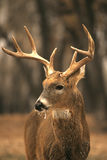 mroźny samiec whitetail Obraz Royalty Free