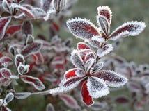 mrożone 01 liścia Zdjęcia Stock