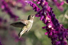 mrożone skrzydła Obrazy Royalty Free