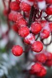 Mroźne czerwone jagody w zimie Obraz Stock