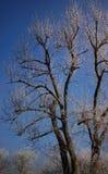 Mroźny drzewo w zimie z niebieskim niebem Zdjęcia Royalty Free