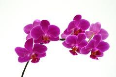 mroczne orchideę różowy Zdjęcie Stock