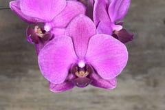 mroczne orchideę różowy Zdjęcia Stock