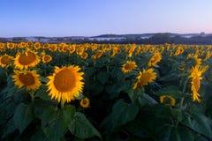 Mroczni słoneczniki Zdjęcia Stock