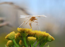 Mroczny biały pióropuszu ćma (Pterophorus pentadactyla) Zdjęcia Royalty Free