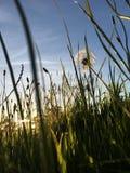 Mroczny dandelion fotografia stock