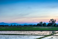 Mroczny niebo na ryżowym polu Obrazy Royalty Free