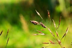 Mrowie lampasa insekt Paederus zdjęcia royalty free