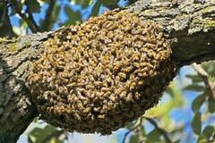 Mrowie pszczoły obrazy stock