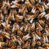 Mrowie pszczoły na roju Wiele pszczoły w postaci tekstury w górę Makro- zdjęcia stock