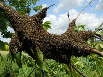 Mrowie pszczoły Zdjęcie Royalty Free