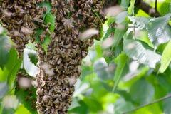 Mrowie pszczo?y w drzewie zdjęcie royalty free