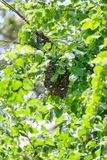 Mrowie pszczo?y w drzewie obrazy stock
