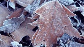 mrozów zakrywający liść zbiory