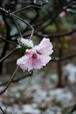 Mrozowy kwiat Fotografia Royalty Free