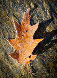 mrozowy liść Zdjęcia Stock