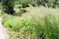 Mrozowy trawy Spodiopogon sibiricus w flowerbed trawa jest alos znać jako Syberyjski graybeard i srebra kolec obrazy stock