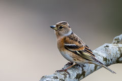 Mrs Brambling Stock Images