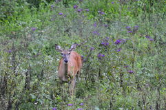 Mrs Deer. Whitetail doe standing in  a field in late summer Stock Images