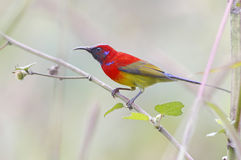 Mrs Gould's sunbird Aethopyga gouldiae Male Birds of Thailand Royalty Free Stock Images