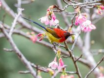 Mrs Gould`s sunbird Aethopyga gouldiae. On the Sakura pink flower in Chiang Mai, Thailand royalty free stock photography