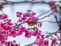 Mrs Gould`s sunbird Aethopyga gouldiae. On the Sakura pink flower in Chiang Mai, Thailand stock photos
