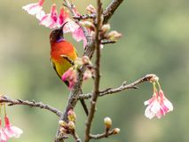 Mrs Gould`s sunbird Aethopyga gouldiae. On the Sakura pink flower in Chiang Mai, Thailand royalty free stock photos