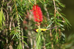 Mrs. Gould's Sunbird Royalty Free Stock Images