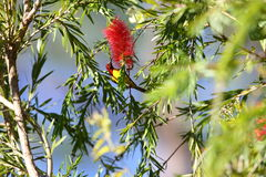 Mrs. Gould's Sunbird Royalty Free Stock Photography
