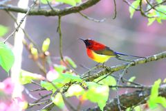 Mrs. Gould`s Sunbird royalty free stock photo