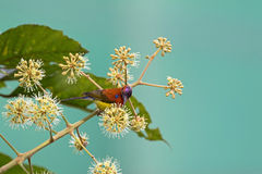 Mrs Gould`s Sunbird in orange yellow with metallic purple-blue c. Rown feeding on umbel flower nectar in Chiang Mai, Thailand royalty free stock photography