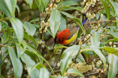 Mrs Gould`s Sunbird in orange yellow with metallic tail feeding. On flower nectar in Chiang Mai, Thailand royalty free stock image