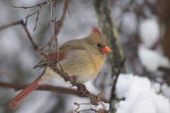 mrs kardinal Royaltyfri Fotografi