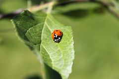 Mrs ladybug is on a trip in a tiny appletree. Was walking around with my camera like i often do, there i got to meet this tiny one Royalty Free Stock Images