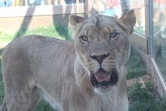 mrs lion Royaltyfria Foton