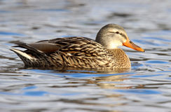Mrs Mallard. A female mallard duck (Anas platyrhynchos) swimming on a lake in winter Stock Images