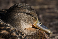 Mrs mallard Stock Images