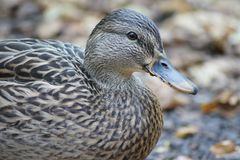 Mrs. Mallard resting on the ground amongst the autumn leaves. Female mallard duck sits upon the ground, fall leaves in the background Stock Photo