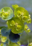 Wood spurge flowers. Details of tiny wood spurge flowers surrounded by cup-shaped yellowish-green bracts in spring, isolated against a greyish-green background Stock Image
