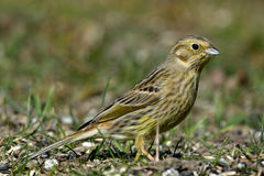 Mrs Yellowhammer Stock Photography