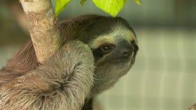 Mrużyć i Uśmiechnięta opieszałość na drzewie, Costa Rica zbiory
