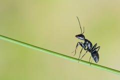 mrówka Zdjęcia Stock