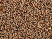 Mrówki kolonia Zdjęcie Stock