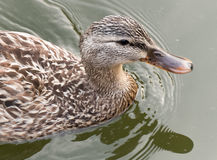 Ms Duck's close-up. A close-up shot of a female duck swimming in a small pond Royalty Free Stock Photography