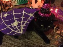 Ms. Emma the Black Cat Celebrates Halloween with Bat wings and a Shiny Witch Hat. Grumpy black cat wears halloween costume of purple bat wings and shiny witch Royalty Free Stock Photos
