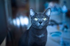 Ms. Grey. Grey cat starring Royalty Free Stock Image